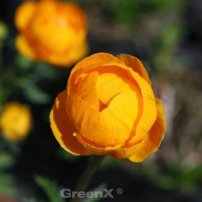 Trollblume Orange Globe - Trollius cultorum