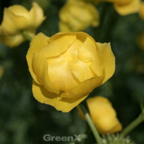 Trollblume Lemon Supreme - Trollius cultorum