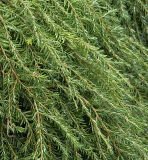 Hochstamm Kriech Hemlocktanne Coles Prostrate 60-80cm - Tsuga canadensis