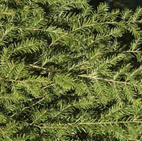 Hochstamm Hängende Kanadische Hemlocktanne 80-100cm - Tsuga canadensis