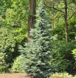 Blaue Hemlocktanne Glauca 30-40cm - Tsuga mertensiana