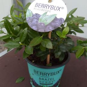10x Heidelbeere Berry Bux - BrazelBerry 10-15cm - Vaccinium angustifolium