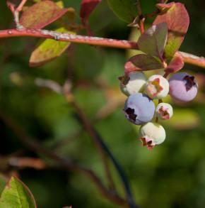 Heidelbeere Hortblue Poppins® 40-60cm - Vaccinium corymbosum