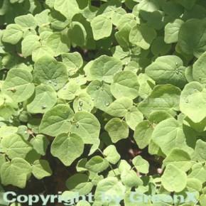 Schein Elfenblume - Vancouveria hexandra