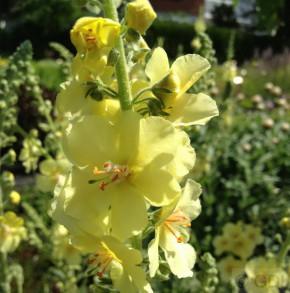 Phönizische Königskerze Gainsborough - Verbascum Hybrid