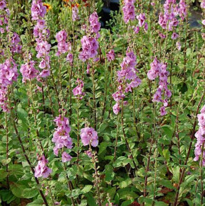 Königskerze Pink Domino - Verbascum Hybrid