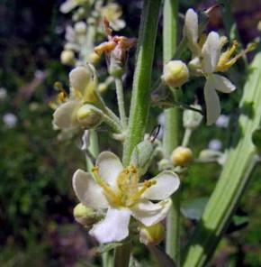 Königskerze White Domino - Verbascum cultorum