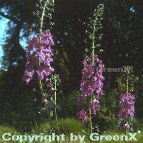 Phönizische Königskerze - Verbascum phoeniceum