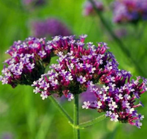 Eisenkraut Purple Tower - großer Topf - Verbena bonariensis