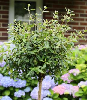 Hochstamm Osterschneeball Conoy 40-60cm - Viburnum burkwoodii