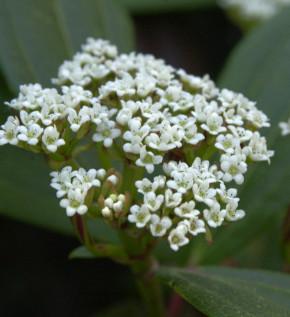 Hochstamm Immergrüner Zwergschneeball 60-80cm - Viburnum davidii