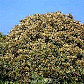 Bastard Schneeball Jermyns Globe 40-60cm - Viburnum globosum