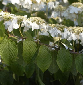 Etagen Schneeball Mariesii 125-150cm - Viburnum plicatum