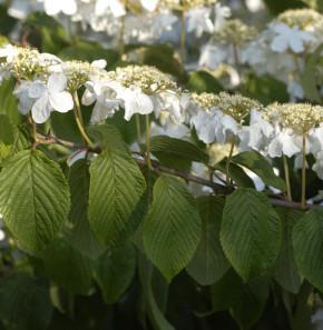 Etagen Schneeball Mariesii 60-80cm - Viburnum plicatum