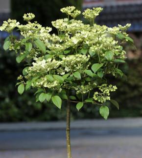Hochstamm Etagen Schneeball Newport 80-100cm - Viburnum plicatum