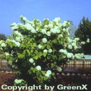 Etagen Schneeball Newport 40-60cm - Viburnum plicatum