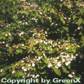 Hochstamm Japanischer Schneeball Pink Beauty 60-80cm - Viburnum plicatum