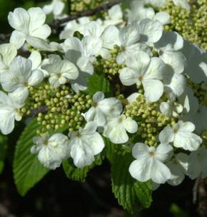 Filziger Schneeball 40-60cm - Viburnum plicatum