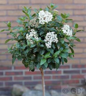 Hochstamm Mittelmeer Schneeball 40-60cm - Viburnum tinus
