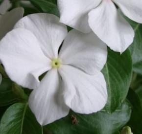 Kleinblättriges Immergrün White Power - Vinca minor