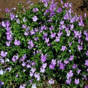 Hornveilchen Azurella - Viola cornuta