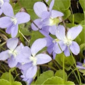 Hornveilchen Boughton Blue - Viola cornuta