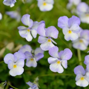 Hornveilchen Milk Maide - Viola cornuta
