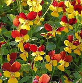 Hornveilchen Jackanapes - Viola cornuta