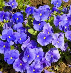 Hornveilchen Martin - Viola cornuta