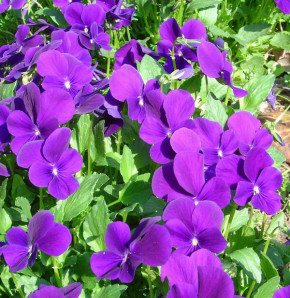 Hornveilchen Roem van Aalsmeer - Viola cornuta