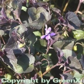 Grönland Veilchen - Viola labradorica