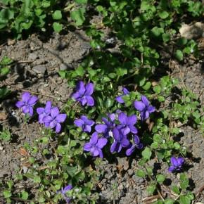 Duftveilchen De Toulouse - Viola odorata