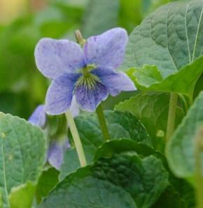 Pfingst Veilchen Dark Freckels - Viola sororia