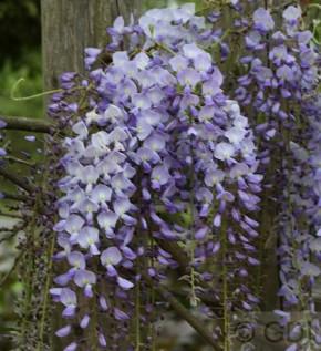 Niedriger Blauregen Okayama 40-60cm - Wisteria sinensis
