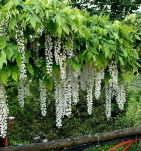 Weißer Blauregen Longissima 60-80cm - Wisteria floribunda