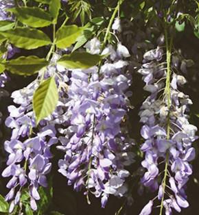Chinesischer Blauregen Prolific 125-150cm - Wisteria sinensis