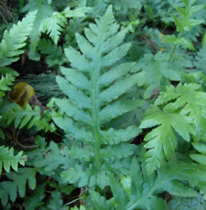 Fransen Kettenfarn - Woodwardia fimbriata