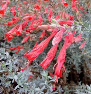 Kalifornische Fuchsie - Zauschneria californica ssp microphylla