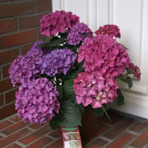 Bauernhortensie Hobergine® 60-80cm - Hydrangea macrophylla
