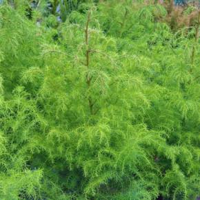 Japanische Sicheltanne Giokomo 40-60cm - Cryptomeria japonica